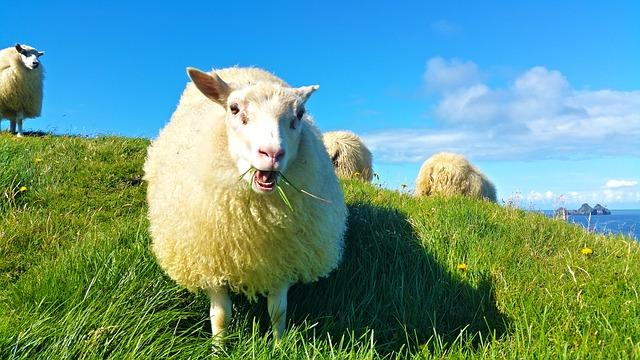 sheep-1798950_640.jpg